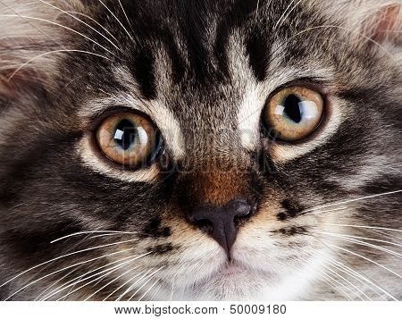 Muzzle Of A Striped Cat With Yellow Eyes.