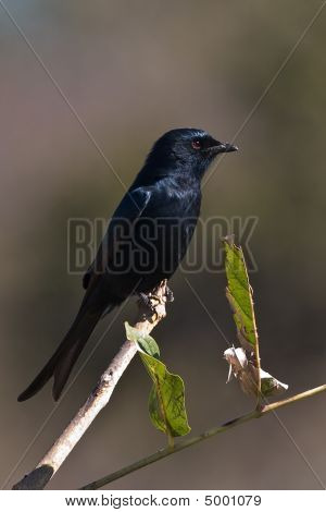 Drongo On Pirtch