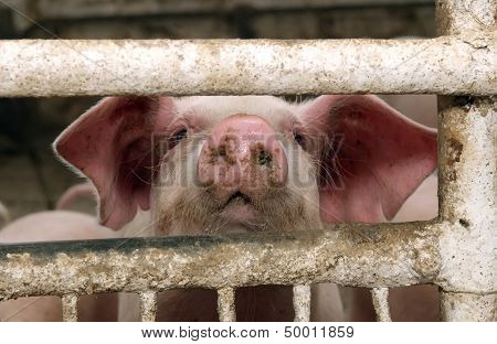 The Pig Looking Through The Fence At A Pig Farm