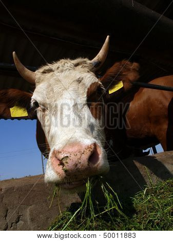 A Cow Stands In A Stall And Eats A Grass