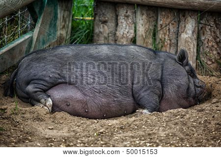 Large pot bellied pig sleeping in the farmyard dirt. poster
