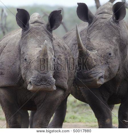 Two rhinoceros walk side by side
