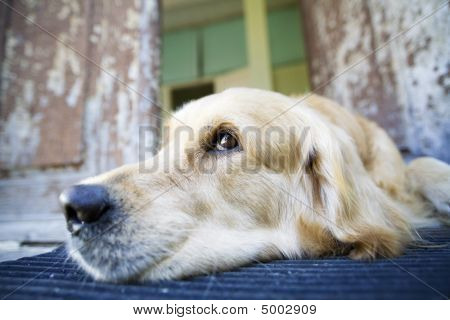 poster of Beautiful Golden Retriever laying at the front door of an old house