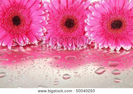 Beautiful pink gerbera flowers, close up