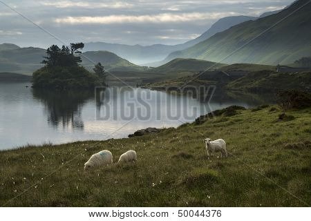 Sheep In Field At Sunrise Landscape With Mountains And Lake In Background