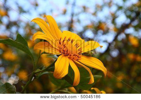 Sunflower Carpel