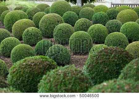 Boxwood - Green garden balls in Loire Valley, France