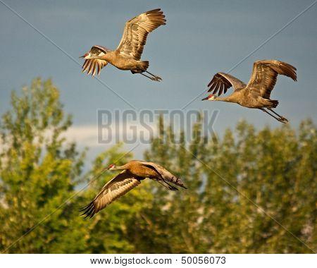 Three Cranes in Flight