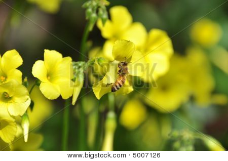 wild honey bee harvesting a yellow flower in the garden poster