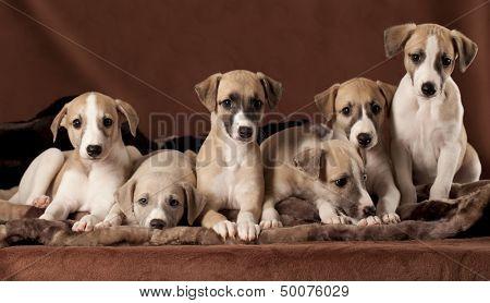 litter of puppies greyhound whippet