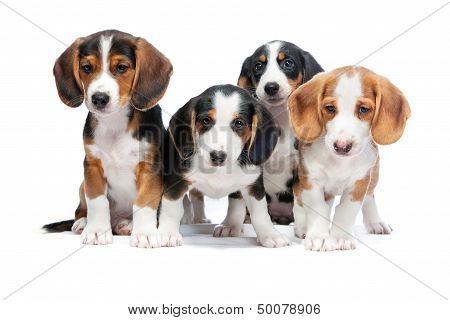 Puppies Isolated On White