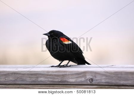 Close up shot of red winged black bird