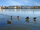 Reykjavik Iceland - Ducks walking on thin ice in the centre of Reykjavik. poster