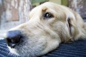 Golden Retriever laying at the front door of an old house poster