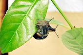 Awakening of the nature. Enamored garden snails on fresh leaves. poster
