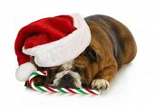 christmas dog - english bulldog laying down with candy cane poster