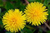 Two fresh yellow flowers of a dandelion poster