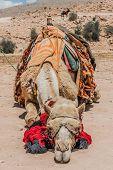 camels in nabatean petra jordan middle east poster