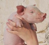 smal pig who is in female hands poster