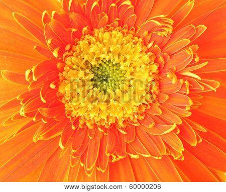 Orange daisy close up