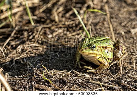 Green frog in the wild