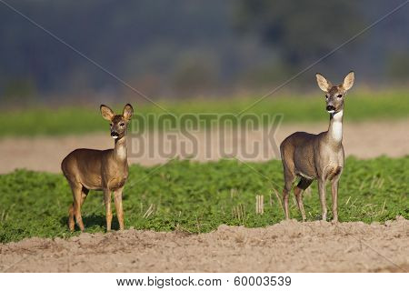 Roe-deer with a child