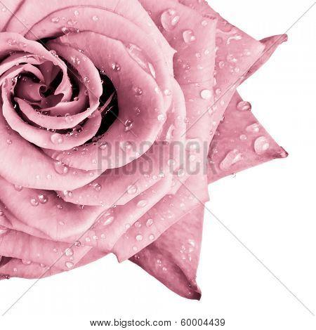 close up of pink rose