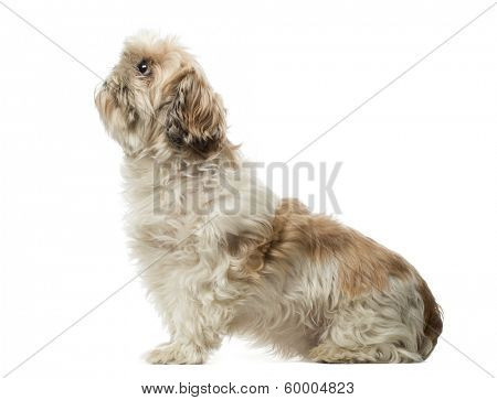 Side view of a Shih Tzu sitting, looking up, 10 years old, isolated on white