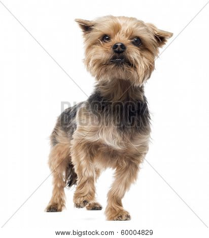 Yorkshire terrier standing, looking away, alert, 4 years old, isolated on white