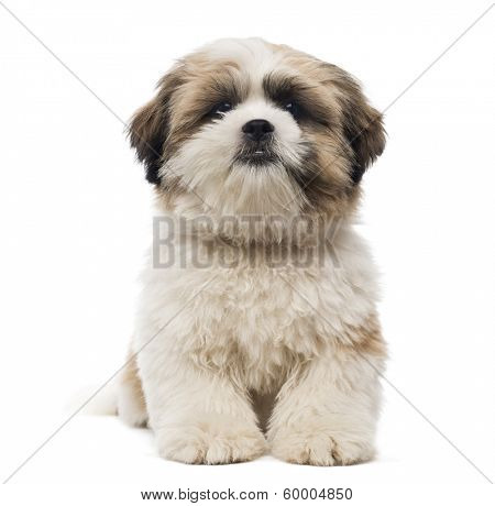 Front view of a Shih Tzu puppy lying, looking at the camera, 5 months old, isolated on white