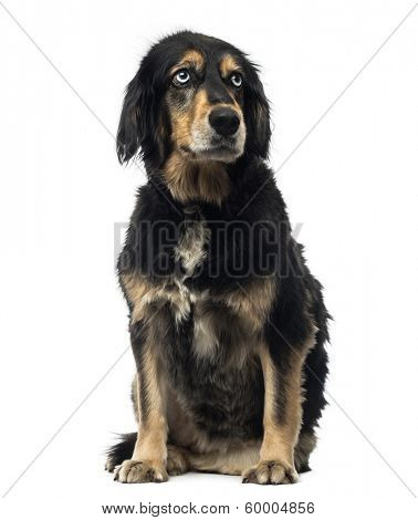 Crossbreed dog sitting, looking up,  isolated on white
