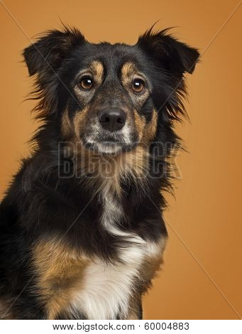 Close-up of a Border Collie on a brown background