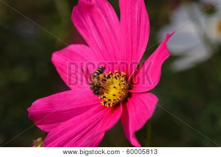 Bee On A Pink Flower