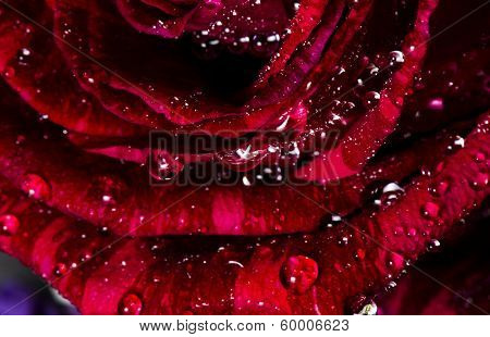 Watered Rose