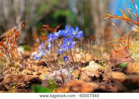 Blue Flowers In Forest
