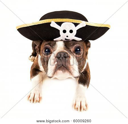 boston terrier dog dressed as a pirate for halloween