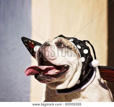 a cute bulldog in a butterfly costume