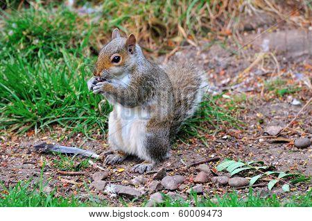 Grey Squirrel Standing.