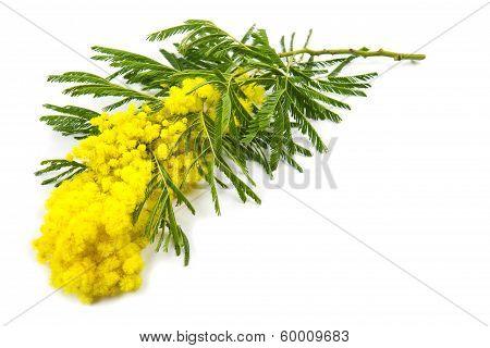 Mimosa, Women's Day
