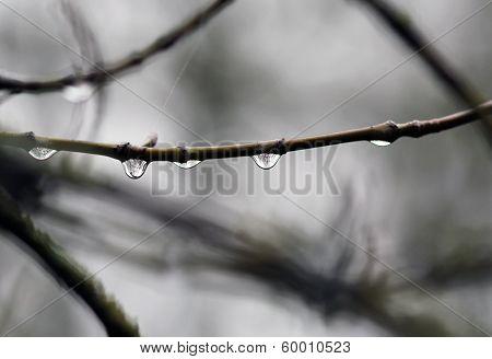 Rain drops hanging on the tree bough