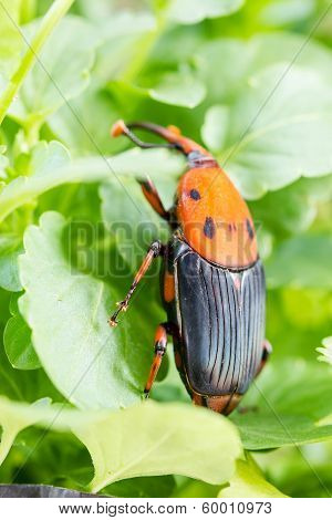 Beetle Rhynchophorus Ferrugineus (red Palm Weevil)