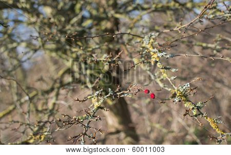 Two Red Berries On A Weathered Bush