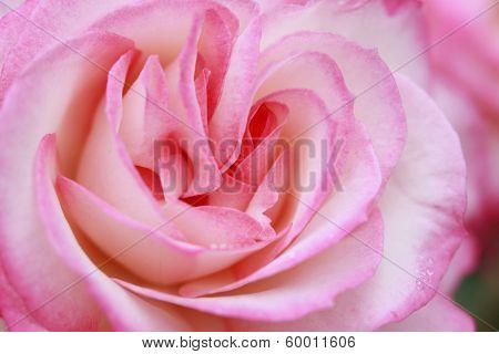 Close Up  Rose Flower