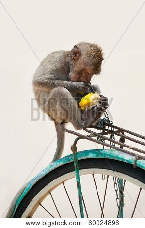 Monkey Eating Corn
