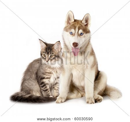 Siberian Husky and cat breeds Maine Coon, Cat and dog