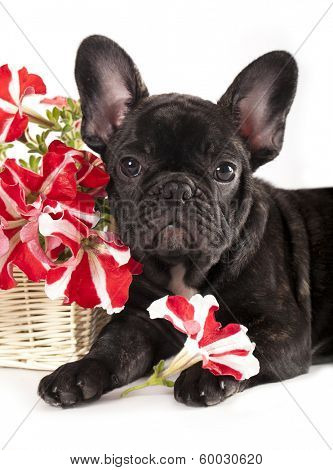 french bulldog and bouquet flowers  poster