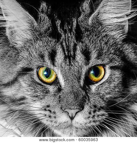 ritratto gatto maine coon cucciolo di due anni poster