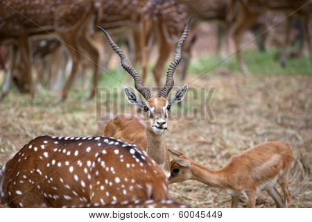 Black buck and spotted deer grazing in the safari
