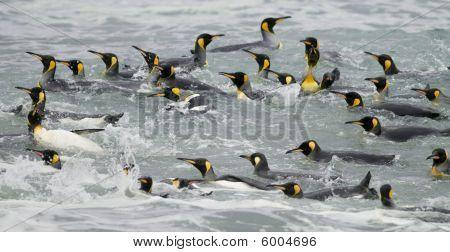 König Penguins Schwimmen In den Wellen