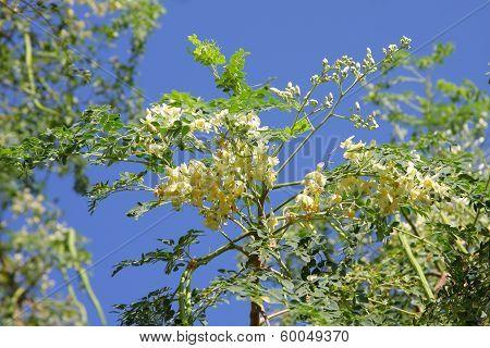 Moringa flowers and leaves of Moringa
